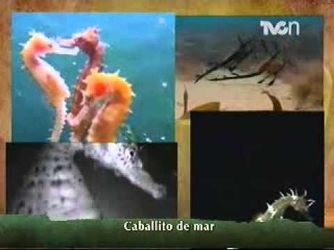 Instinto Animal -  El caballito de mar