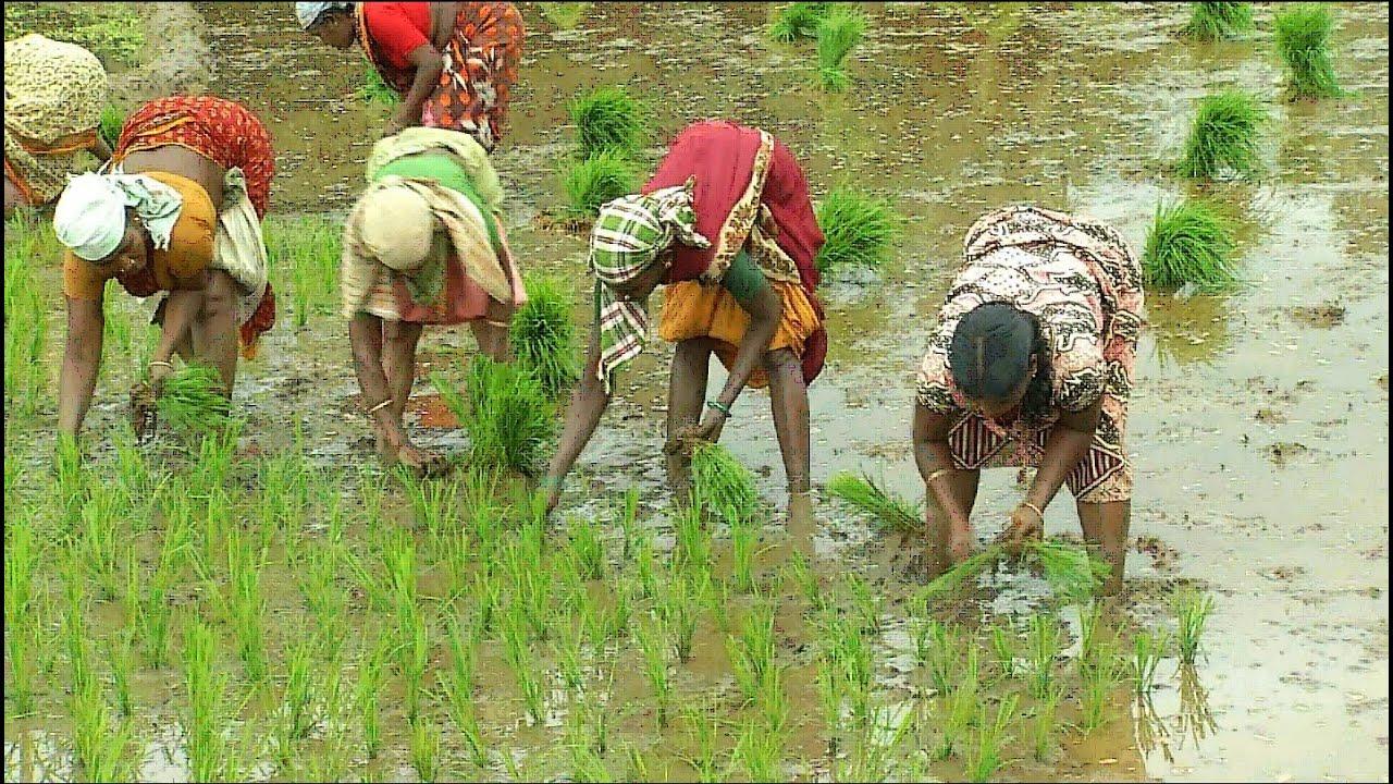agriculture in tiruvuru krishna district - tiruvuru kaburlu - tvrnews - tiruvuru news - ఊపందుకుంటున్న వరి నాట్లు-నేటి తిరువూరు కబుర్లు-07/31