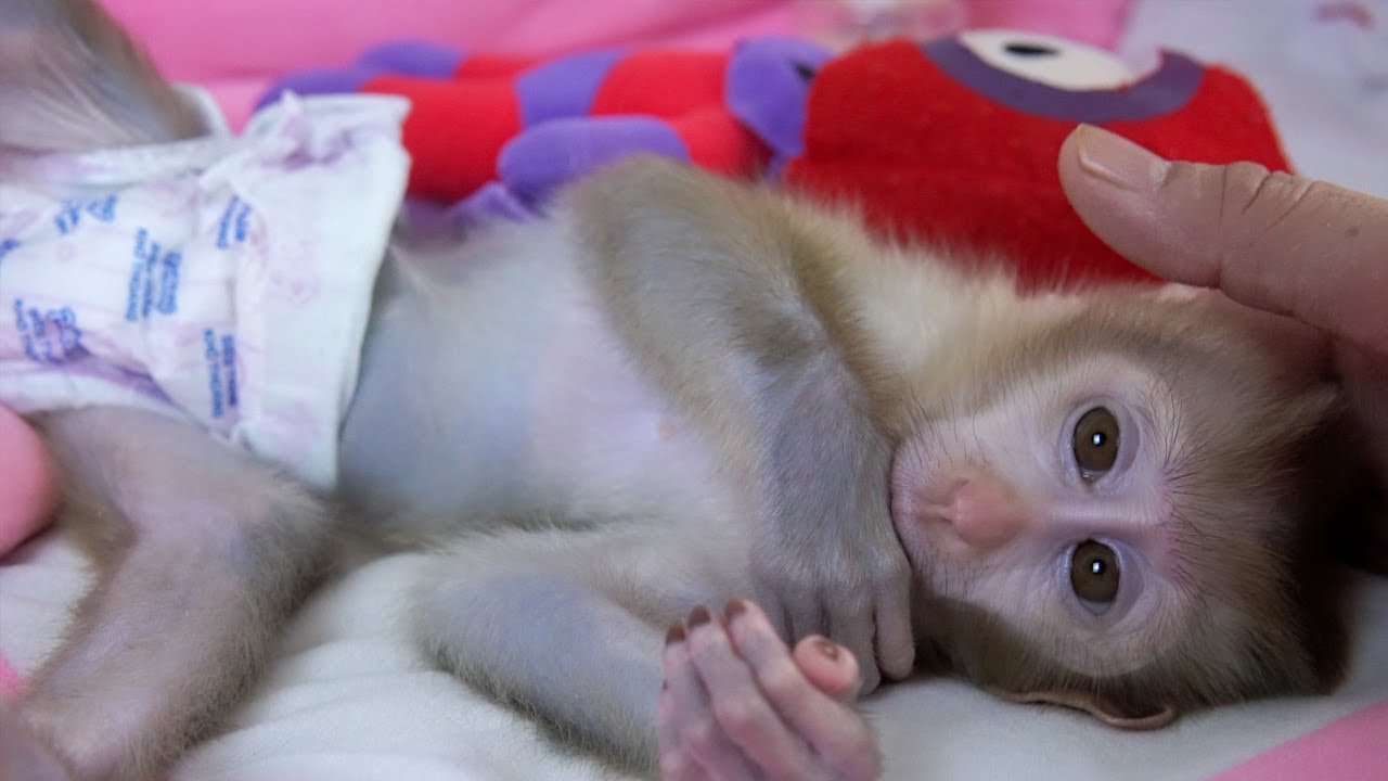 Little Baby Monkey Amy Want to Sleep More Than Drink Milk Because She's Sleepy