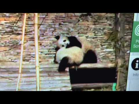 Wolong National Nature Reserve - Panda sneak attack