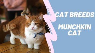 MUNCHKIN  CAT BREEDS