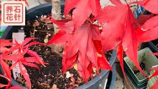 盆栽日本枫树和其它木本植物 - 提供更多生长营养的小技巧