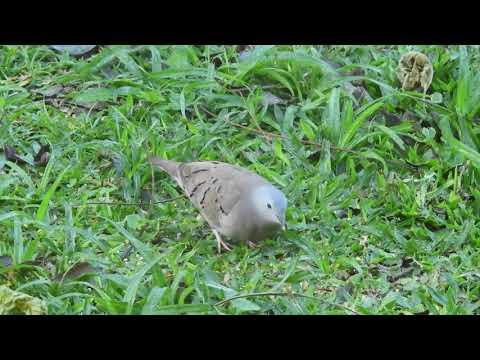 Ruddy ground-dove. Rolinha-roxa.