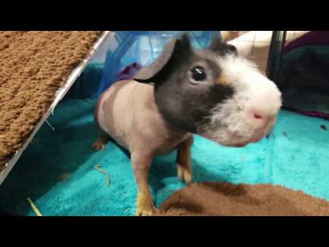 KING HAIRY And His NEW Home, House Tour! Skinny Pig Almost Hairless Guinea Pig