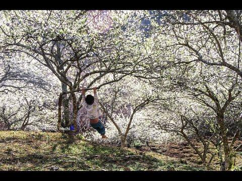 Đi du lịch Mộc Châu mùa hoa mận nở trắng núi rừng