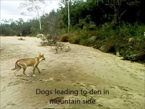 Feral dogs on trail camera Australia