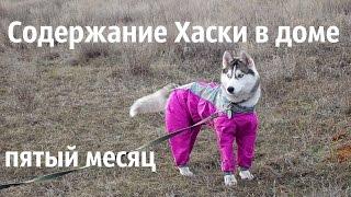 Содержание щенка Сибирского Хаски в доме. Пятый месяц.