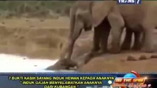 on the spot 7 bukti kasih sayang induk hewan kepada anaknya dan melindunginya induk gajah menyelama