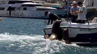 Sea Lions with a fishing boat @ Cabo