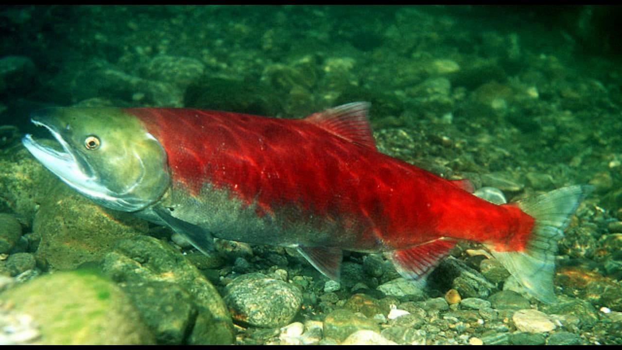 была маленькой, тихоокеанская лосось фото версии