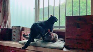 先輩にくっついていられるだけで幸せな猫 I just want to be with you thumbnail