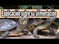 La alimentacion de las tortugas de agua consejos y explicación