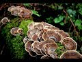How to Harvest Turkey Tail Mushrooms | Magical Benefits, Uses & Foraging Tips