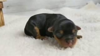 https://www.breeder-navi.jp/dog/71337 子犬販売ならブリーダーナビ|...