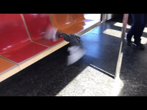 NYC Subway Pigeon Rides Number 6 Train From Pelham Bay Park to Buhre Avenue LoL