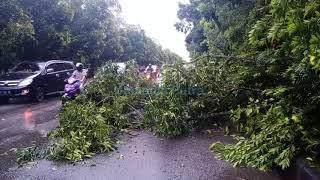 Download Pohon Tumbang di Jalan Ahmad Yani Pontianak