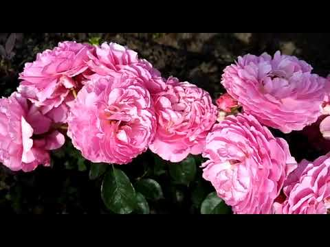 Роза - Тсукиёми  Японка