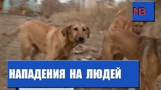 Нашествие бездомных собак в Чите