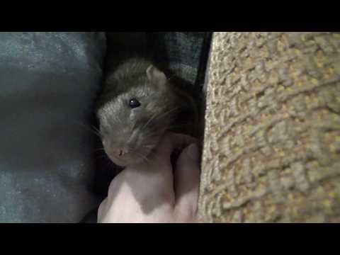 Киви выгуливается самостоятельно. Крыса зевает.