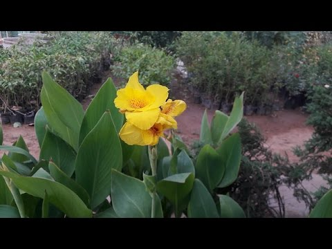 Canna Lily Keli Flower Plant Hindi