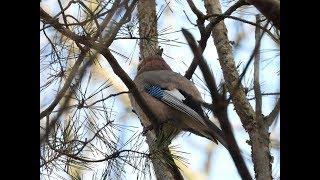 Piękno Przyrody Cz  159   Zima   Las   Zwierzęta   Sarny   Ptaki - Gil,  Jemiołuszka,