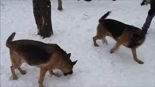 Зимние игры и собачьи ревности
