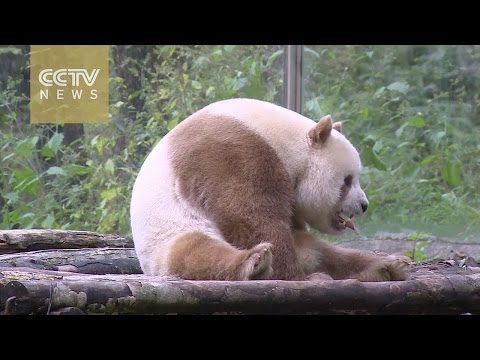 Brown giant panda becomes superstar in China