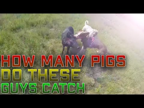 Wild Trophy Boars, Feral Pigs Australia Hunting