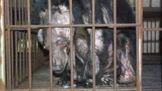 Chinas Cruel  Act Called Bear Bile Farming