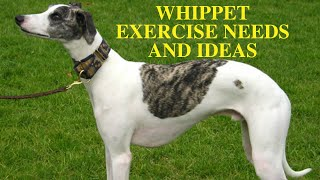 Whippet Exercise Requirements [and Ideas]