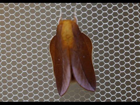 Saturniidae Ceratocampinae