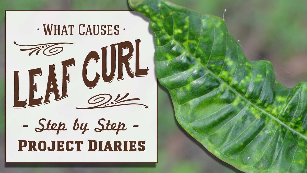How To Diagnose Treat Leaf Curl Yellowing Leaves Inc Lemon