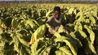 Thousands of tobacco farmers face losses in Zimbabwe