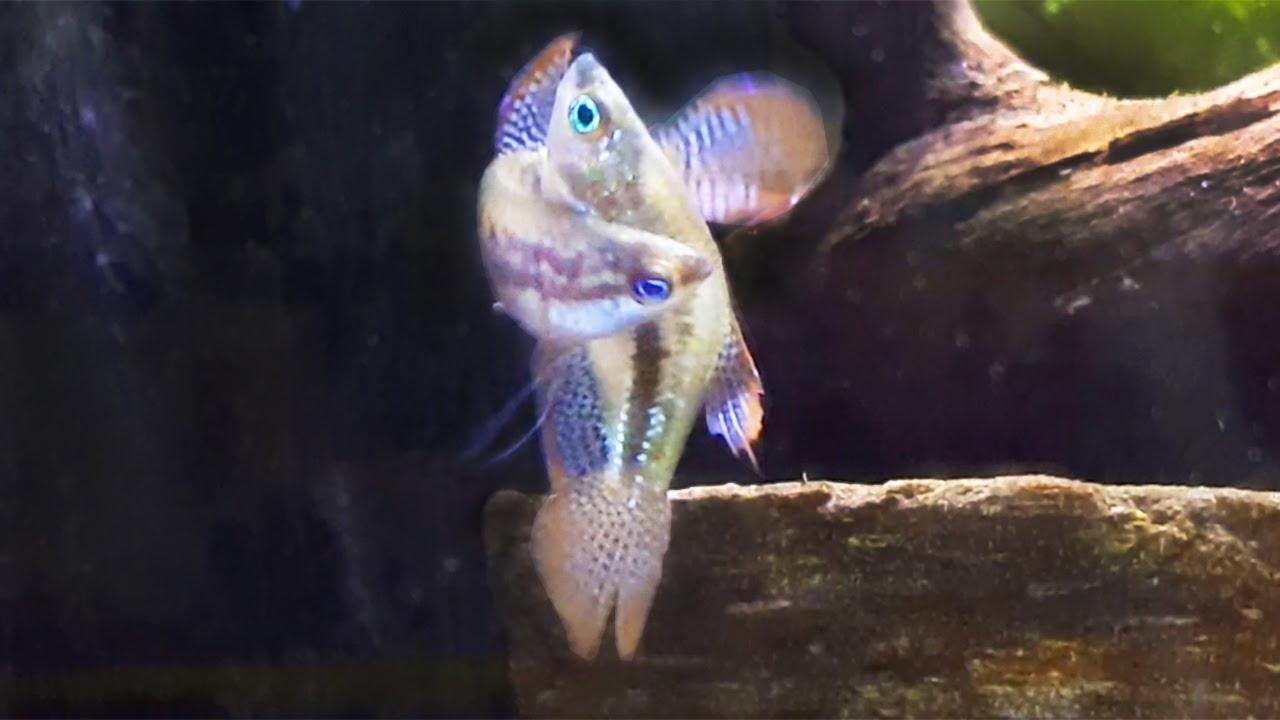 sparkling-gouramis-breeding-again-similar-to-betta-breeding-eggs-didn-t-hatch