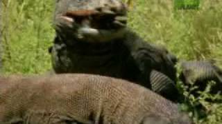 Nature's Perfect Predators- Komodo Dragon