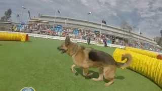 Royal Melbourne Show 2014 Gsdcv Tunnel Extravaganza. German Shepherd Dog Club Of Victoria.