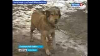 Вести-Хабаровск. Бездомные собаки