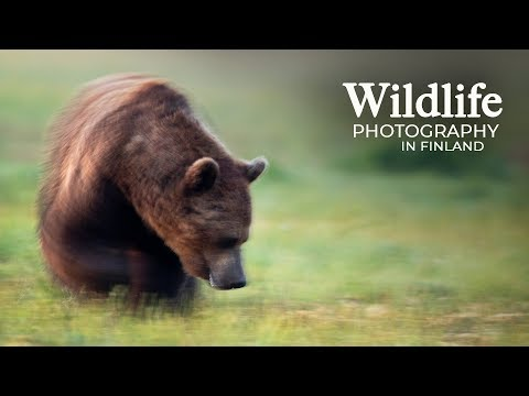 Wildlife Photography - WOLVES and BEARS part 2   Behind the scenes in the photo hide