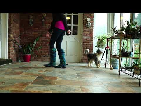 AussieDoodle Puppy Training - Leash walking