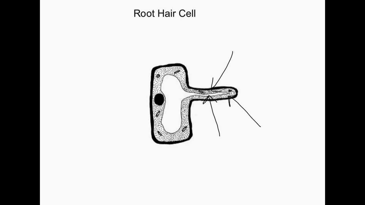 Ks3 Root Hair Cell