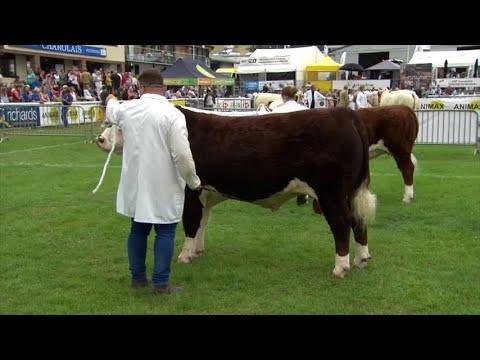 Pencampwriaeth Gwartheg Henffordd   Hereford Cattle Championship