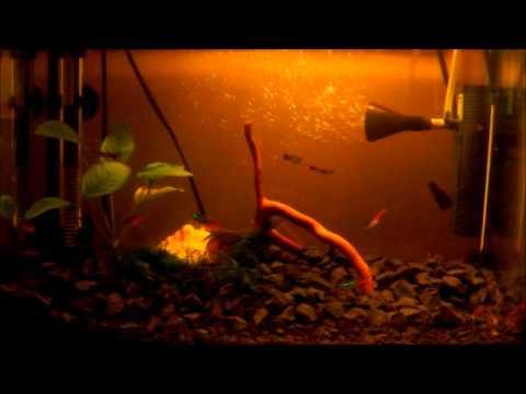 Akwarium 30 L Gupik Neon Bojownik Kirys Youtube