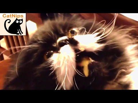 53 Funniest Cat Videos! | CatNips