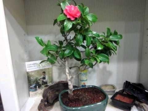 Camellia Bonsai Species Guides Youtube