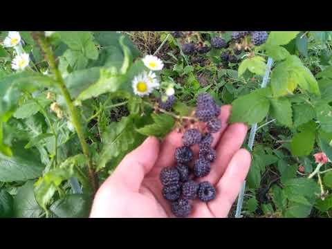 Черноплодная малина Кумберленд и Бристоль. Найди три отличия.