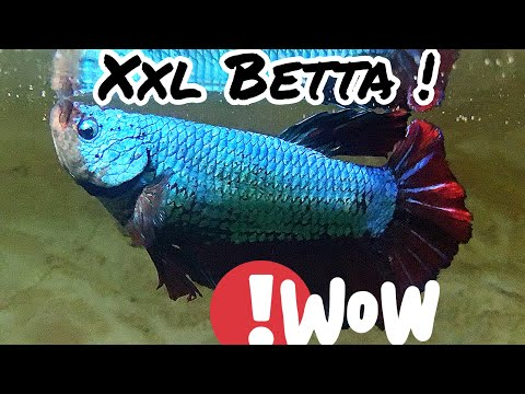 XXL GIANT BETTA Living With CiCHLIDS !?!