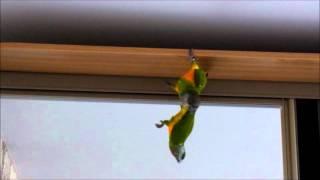Сенегальский попугай. Гоша хулиганит.