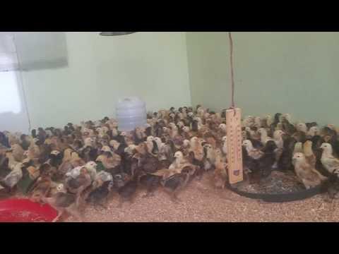 golden misri hen - Myhiton