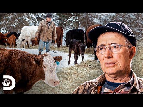 Separan rebaño de vacas preñadas por seguridad | Alaska:La ú
