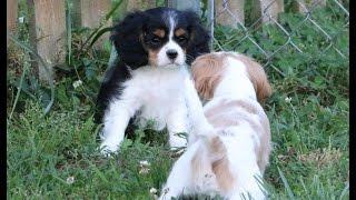 Cavalier King Charles Spaniel Puppy Tsunami